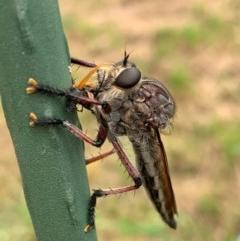 Neoaratus hercules (Robber fly) at Murrumbateman, NSW - 5 Dec 2020 by SimoneC