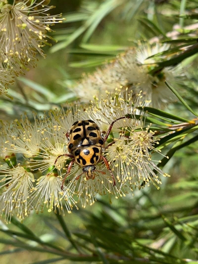 Neorrhina punctata at Murrumbateman, NSW - 13 Dec 2020