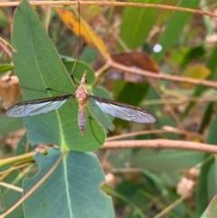Leptotarsus (Leptotarsus) sp.(genus) (A Crane Fly) at Murrumbateman, NSW - 13 Dec 2020 by SimoneC