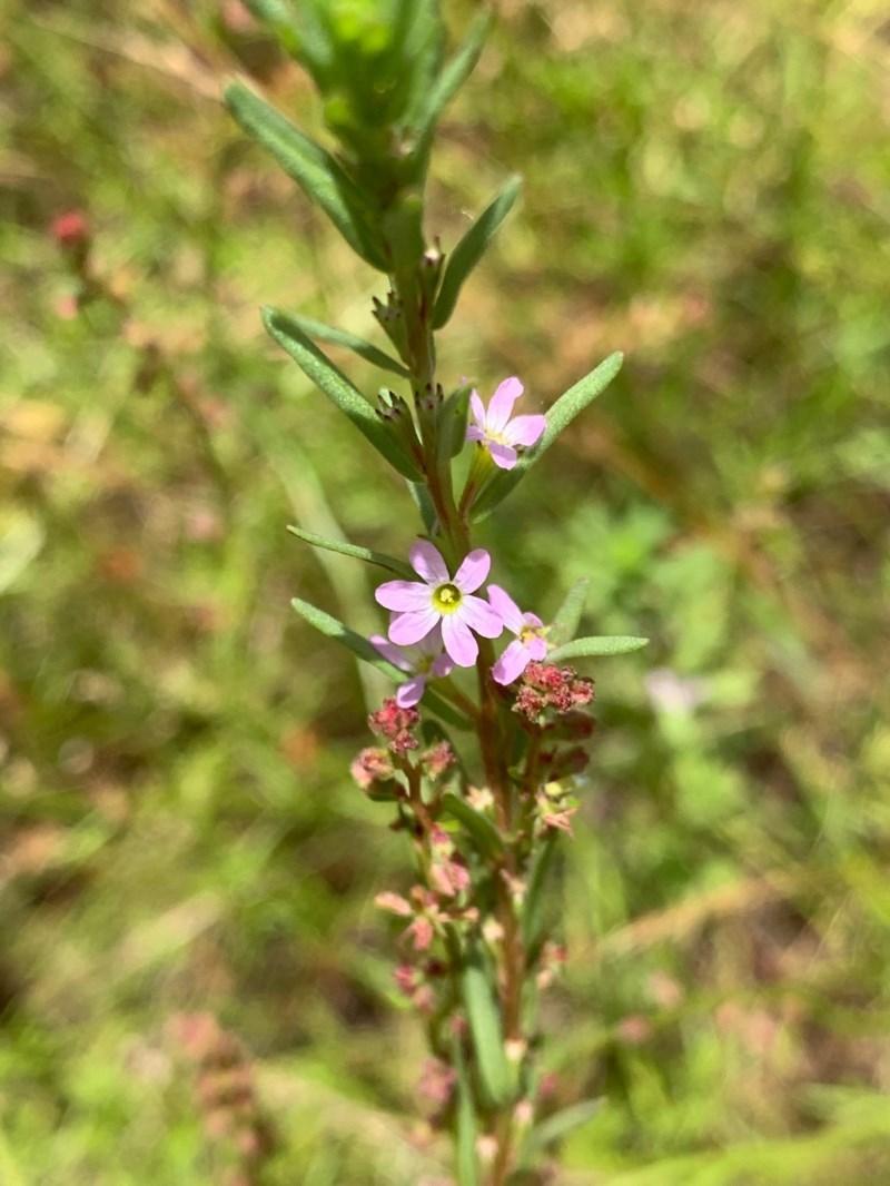 Lythrum hyssopifolia at Murrumbateman, NSW - 13 Dec 2020