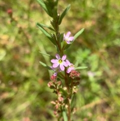 Lythrum hyssopifolia (Small Loosestrife) at Murrumbateman, NSW - 13 Dec 2020 by SimoneC