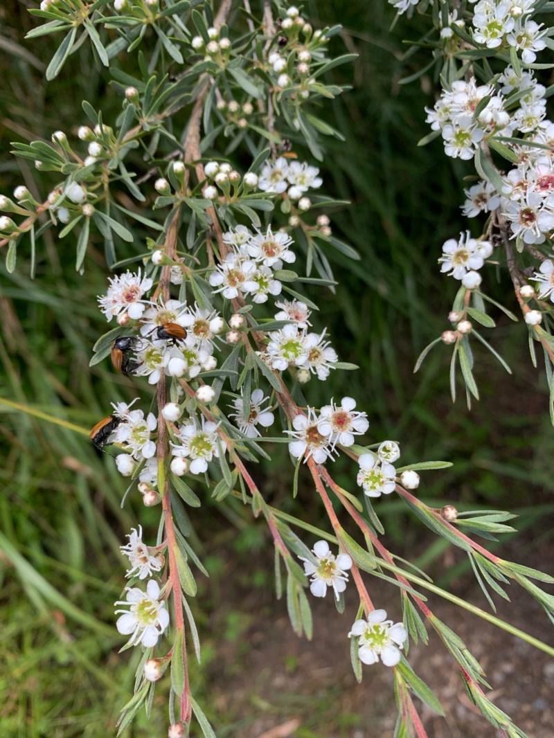 Kunzea ericoides at Murrumbateman, NSW - 13 Dec 2020