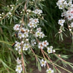 Kunzea ericoides (Burgan) at Murrumbateman, NSW - 13 Dec 2020 by SimoneC