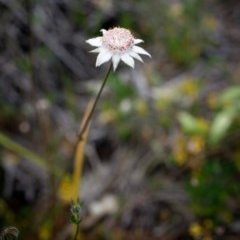 Actinotus forsythii (Pink Flannel Flower) at Morton National Park - 13 Dec 2020 by Boobook38