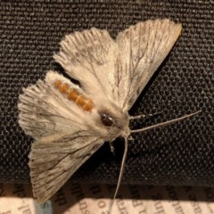 Cyneoterpna wilsoni (Wilson's Grey) at Aranda, ACT - 13 Dec 2020 by KMcCue