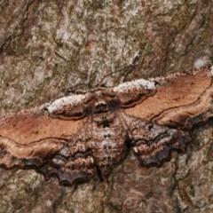 Pholodes sinistraria (Sinister Moth, Frilled Bark Moth) at Melba, ACT - 17 Nov 2020 by kasiaaus