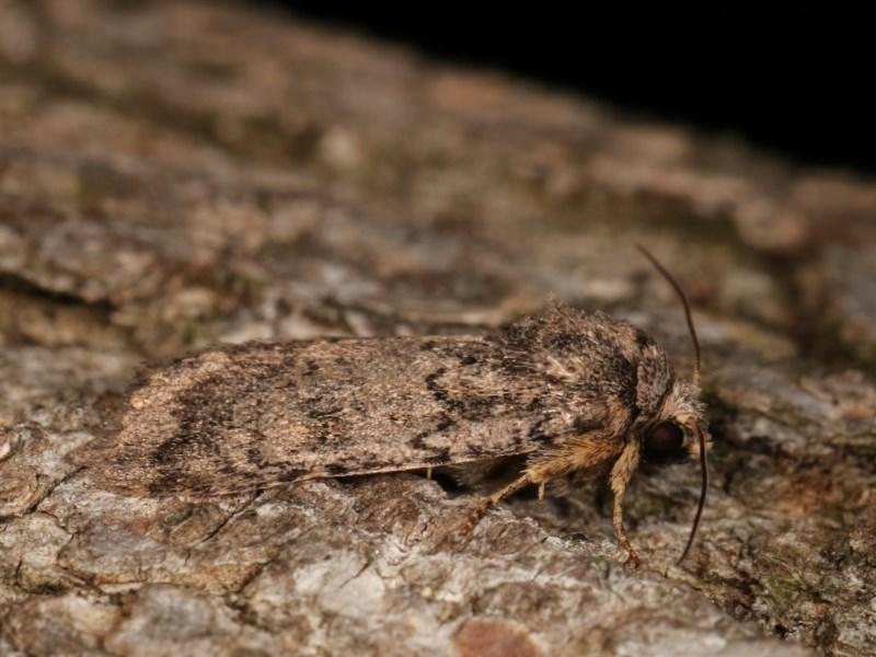 Proteuxoa provisional species 5 at Melba, ACT - 17 Nov 2020