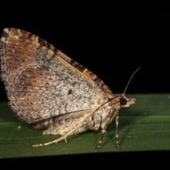 Epyaxa (genus) at Melba, ACT - 17 Nov 2020 by kasiaaus