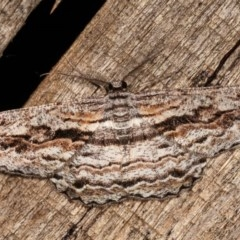 Scioglyptis chionomera (Grey-patch Bark Moth) at Melba, ACT - 17 Nov 2020 by kasiaaus