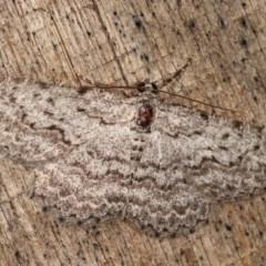 Psilosticha absorpta (Fine-waved Bark Moth) at Melba, ACT - 17 Nov 2020 by kasiaaus