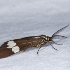 Nyctemera amicus (Senecio or Magpie moth) at Melba, ACT - 17 Nov 2020 by kasiaaus