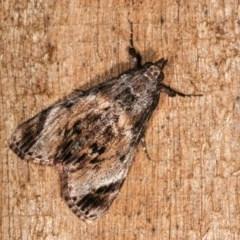 Salma pyrastis (A Pyralid moth) at Melba, ACT - 17 Nov 2020 by kasiaaus