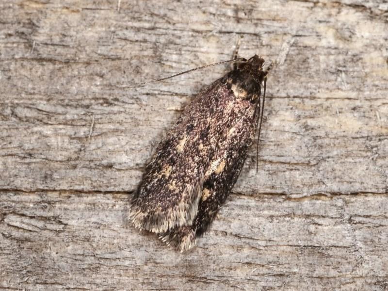 Barea (genus) at Melba, ACT - 17 Nov 2020