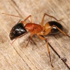 Camponotus consobrinus (Banded sugar ant) at Melba, ACT - 11 Nov 2020 by kasiaaus