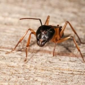 Camponotus consobrinus at Melba, ACT - 11 Nov 2020