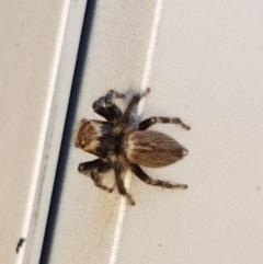Hypoblemum griseum (A jumping spider) at Lyneham, ACT - 14 Dec 2020 by tpreston