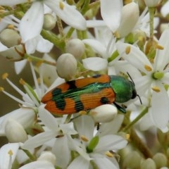 Castiarina scalaris (Scalaris jewel beetle) at Tuggeranong Hill - 14 Dec 2020 by Owen