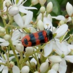 Castiarina crenata (Crenata jewel beetle) at Tuggeranong Hill - 14 Dec 2020 by Owen