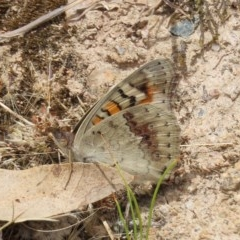 Junonia villida (Meadow Argus) at Tuggeranong Hill - 14 Dec 2020 by Owen