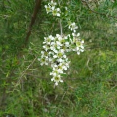 Leptospermum obovatum (River Tea Tree) at Isaacs Ridge and Nearby - 14 Dec 2020 by Mike