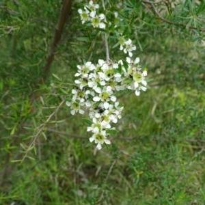 Leptospermum obovatum at Isaacs Ridge and Nearby - 14 Dec 2020