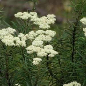 Cassinia longifolia at Isaacs Ridge and Nearby - 14 Dec 2020