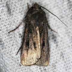 Agrotis infusa (Bogong Moth, Common Cutworm) at O'Connor, ACT - 9 Dec 2020 by ibaird