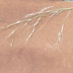 Austrostipa verticillata (Slender bamboo grass) at Isaacs Ridge and Nearby - 7 Dec 2020 by MichaelMulvaney