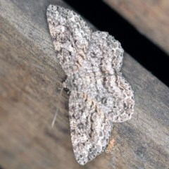 Ectropis fractaria (Ringed Bark Moth) at O'Connor, ACT - 9 Dec 2020 by ibaird