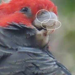 Callocephalon fimbriatum (Gang-gang Cockatoo) at O'Malley, ACT - 12 Dec 2020 by roymcd