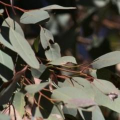 Eucalyptus dealbata (TBC) at Wodonga - 12 Dec 2020 by Kyliegw