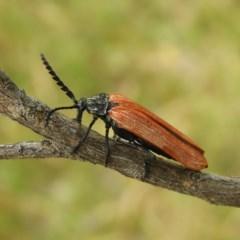 Porrostoma rhipidium (Long-nosed Lycid (Net-winged) beetle) at Kambah, ACT - 10 Dec 2020 by MatthewFrawley