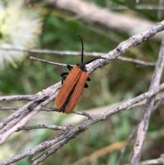 Porrostoma rhipidium (Long-nosed Lycid (Net-winged) beetle) at Murrumbateman, NSW - 13 Dec 2020 by SimoneC