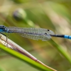 Ischnura heterosticta (Common Bluetail) at Googong, NSW - 14 Dec 2020 by WHall
