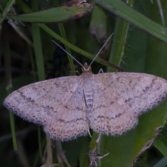 Scopula rubraria (Plantain Moth) at Googong, NSW - 14 Dec 2020 by WHall