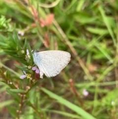 Zizina otis (Common Grass-blue) at Murrumbateman, NSW - 13 Dec 2020 by SimoneC