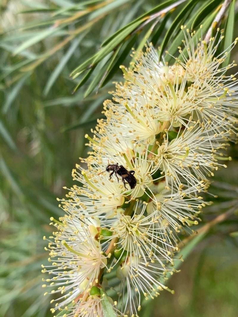 Eleale pulchra at Murrumbateman, NSW - 13 Dec 2020