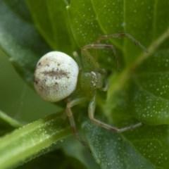 Lehtinelagia prasina (Leek-green flower spider) at Michelago, NSW - 22 Mar 2019 by Illilanga