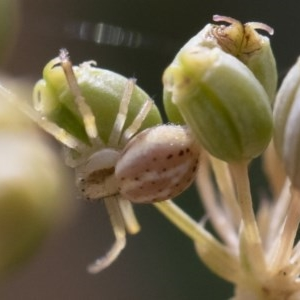 Thomisidae sp. (family) at Illilanga & Baroona - 22 Mar 2019