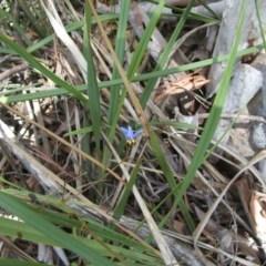 Dianella revoluta var. revoluta (Black-anther Flax Lily) at Mount Majura - 14 Dec 2020 by abread111