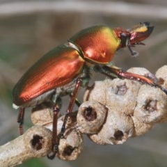 Unidentified Scarab beetle (Scarabaeidae) (TBC) at Panboola - 14 Dec 2020 by Harrisi