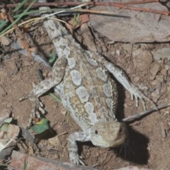 Amphibolurus muricatus (Jacky Dragon) at Bungarby, NSW - 14 Dec 2020 by Harrisi