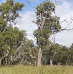 Eucalyptus blakelyi (Blakely's Red Gum) at Franklin Grassland Reserve - 10 Dec 2020 by michaelb