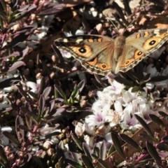 Junonia villida (Meadow Argus) at Aranda, ACT - 14 Dec 2020 by KMcCue