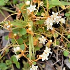 Cuscuta tasmanica (Saltmarsh Dodder) at Booderee National Park - 14 Dec 2020 by plants