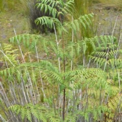 Histiopteris incisa (Bat's Wing Fern) at Booderee National Park - 14 Dec 2020 by plants