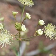 Trachymene composita at Booderee National Park - 14 Dec 2020