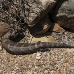 Tiliqua scincoides (Eastern Blue-tongue) at Illilanga & Baroona - 20 Oct 2020 by Illilanga