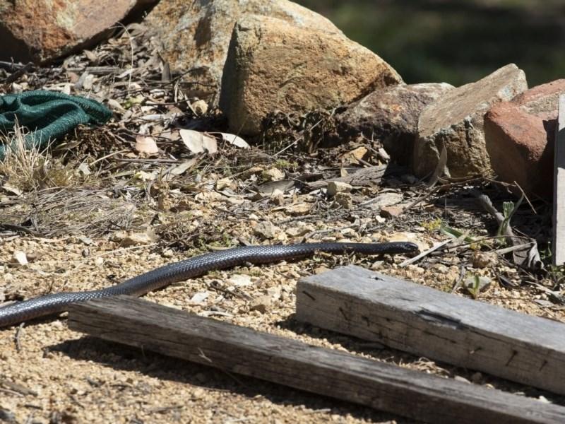 Pseudechis porphyriacus at Illilanga & Baroona - 28 Sep 2020