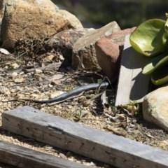 Pseudechis porphyriacus at Michelago, NSW - 28 Sep 2020